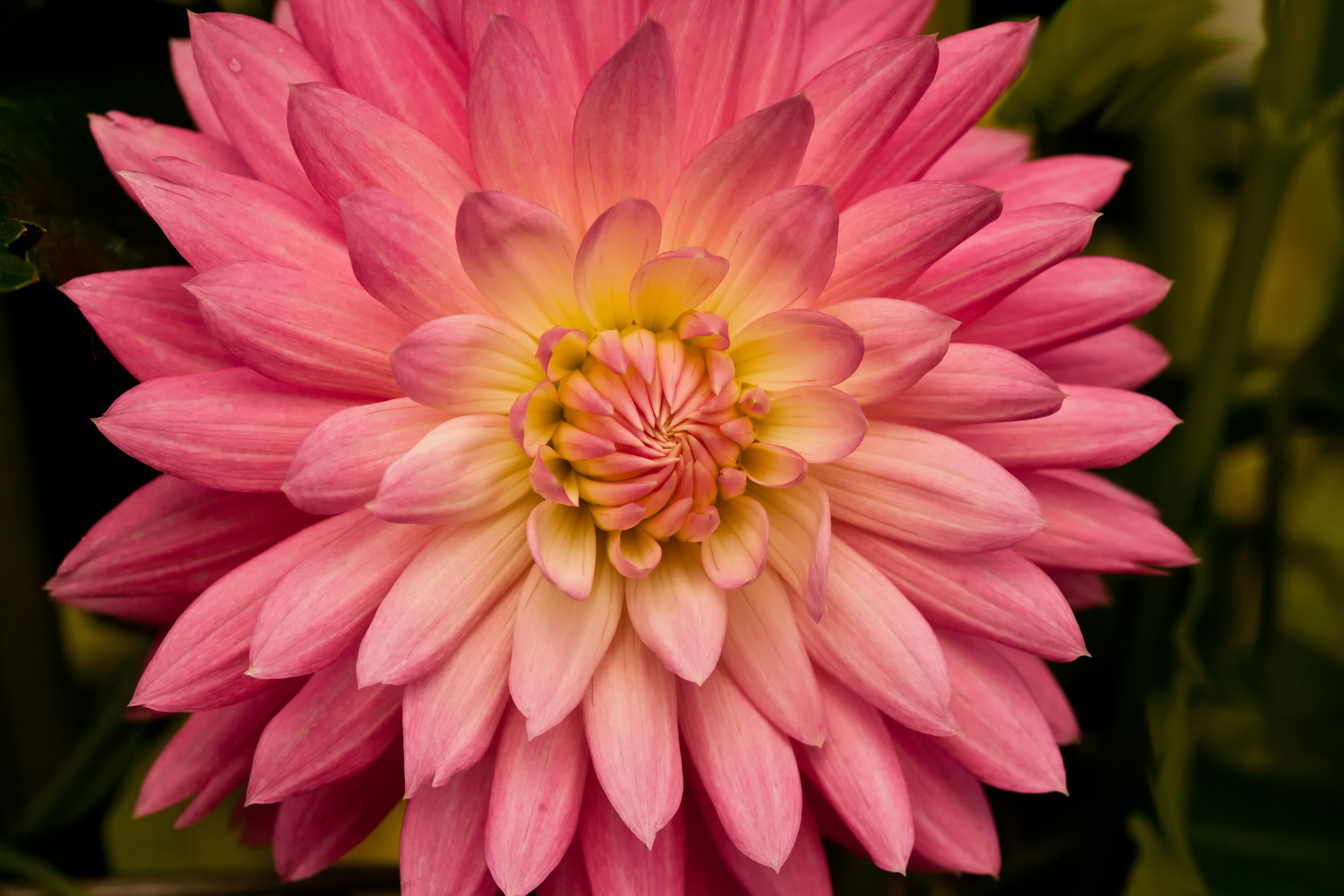 Dazzled by dahlias