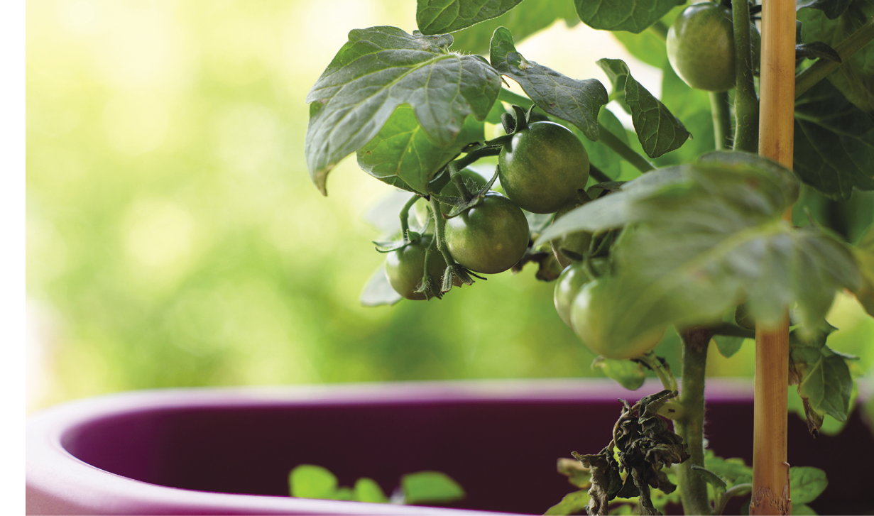 Grow your own Salad Fixings