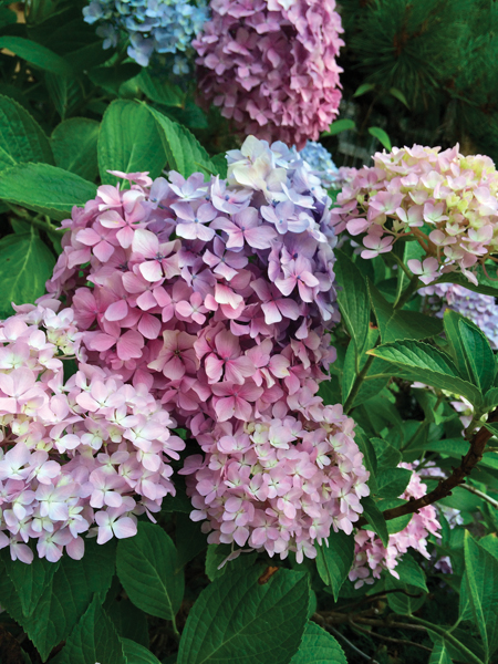 HEAVENLY HYDRANGEAS